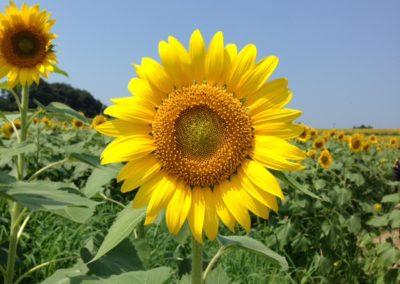 Spirale dans fleur de tournesol