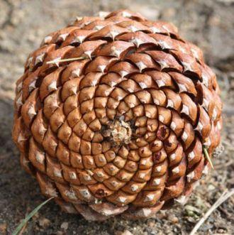 spirale de pomme de pin